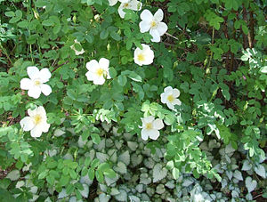 Garden roses - The spring-flowering pimpinellifolia 'Rosa Altaica', underplanted with lamium