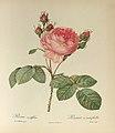 Rosa centifolia 101.JPG