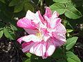 Rosa gallica9.jpg
