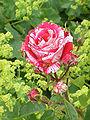 Rosa sp.218.jpg