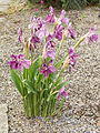 Roscoea cautleyoides Early Purple.jpg