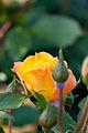 Rose, Goldmarie '84 - Flickr - nekonomania (7).jpg