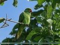Rose-ringed Parakeet (Psittacula krameri) (20102306356).jpg