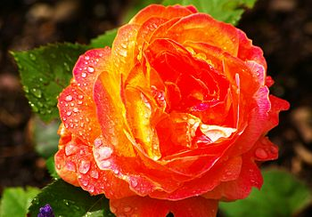 English: a rose after rainfall