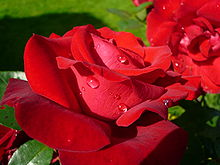 Dewdrops on the petals of a rose