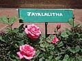 Rose variety at Ooty rose garden.JPG