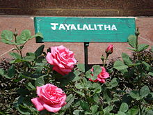 A Rose Variety Named After Tamil Nadu Chief Minister J. Jayalalithaa