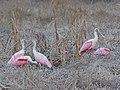 Roseate Spoonbill - Platalea ajaja, Everglades National Park, Homestead, Florida (39089602221).jpg