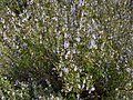 Rosemary Bush (Rosmarinus officinalis) (8346914670).jpg