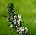 Rosmary Flowers.jpg
