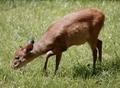 Rotducker im Okapi-Wald - Zoo Leipzig.png