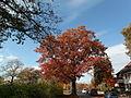 Eiche-Roteiche (Quercus rubra)