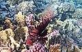 Rotfeuerfisch, lionfisch (рыба-зебра, рыба-лев). DSCF1356OB.jpg
