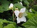 Rubus parviflorus (8094494188).jpg