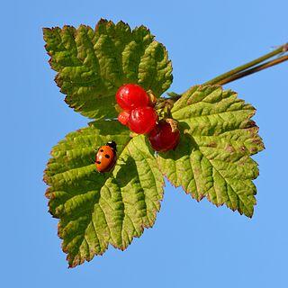 <i>Rubus saxatilis</i> species of plant