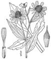 Rudbeckia triloba-linedrawing.png