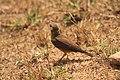 Rufus tailed lark (1).jpg