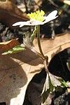 Ruhland, Grenzstr. 3, Weißes Buschwindröschen im Garten, blühende Pflanze, Frühling, 03.jpg