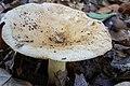 Russula ballouii Peck 570498.jpg
