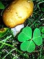 Russula foetens 89805019.jpg