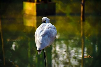 Eurasian spoonbill - eurasian spoonbill