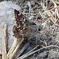 Sage Skipper. Female. Muschampia proto - Flickr - gailhampshire (1).jpg
