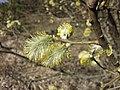 Salix caprea sl18.jpg