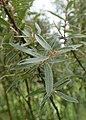 Salix myrtilloides kz07.jpg