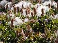 Salix reticulata (5027147325).jpg
