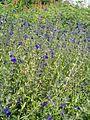 Salvia coahuilensis BotGardBln07122011b.JPG