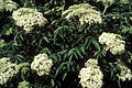 Sambucus nigra ssp canadensis 1480452.jpg