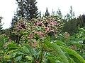 Sambucus racemosa (8088057249).jpg