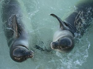 Hawaiian monk seal - Seal pups at Papahanaumokuakea Marine National Monument