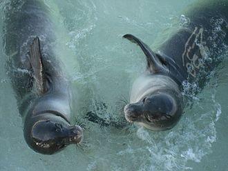 Hawaiian monk seal - Seal pups at Papahanaumokuakea Marine National Monument