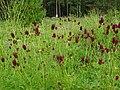 Sanguisorba officinalis in Russia.jpg