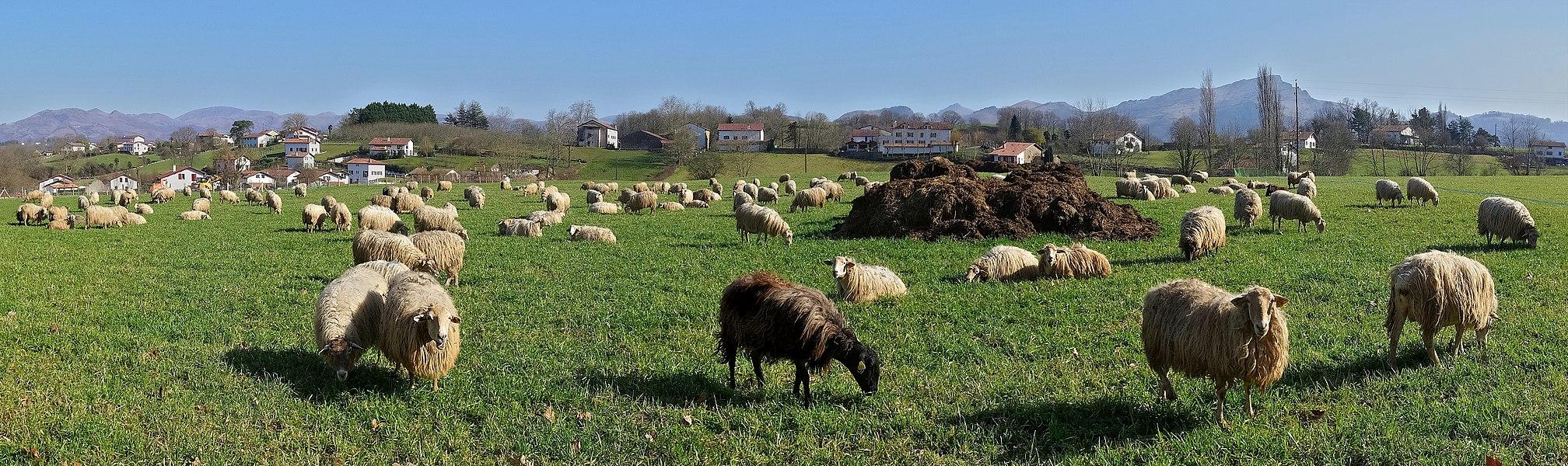 """Flock of """"Manech à tête rousse"""" sheep, Sare, Pyrénées-Atlantiques, France."""