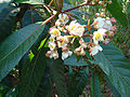 Saurauia zahlbruckneri, the Butterscotch Bush (9505496390).jpg