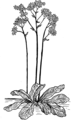 Saxifrage (PSF).png