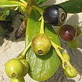 Scaevola plumieri - fruits (8624222621).jpg