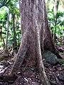 Scalybark Syzygium fullagarii.JPG