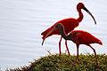 Scarlet Ibis - Corocoro Colorado (Eudocimus ruber) (12479642334).jpg