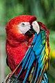 Scarlet Macaw (17275987).jpeg