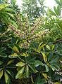 Schefflera arboricola kz3.JPG