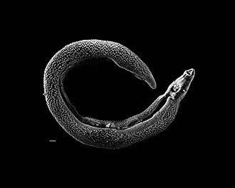 Schistosoma - Electron micrograph of an adult male Schistosoma parasite worm. The bar (bottom left) represents a length of 500 μm.