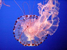 Jellyfish - Wikipedia