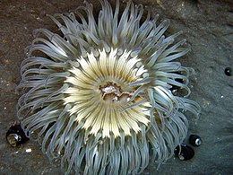 Sea anemone in tidepools