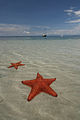 Sea stars at Bocas del Toro, Panama.jpg