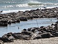 Seals on South Monomoy Island (5528224600).jpg
