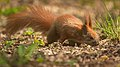Searching for nuts (51155965490).jpg