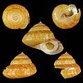Seashell Bayerotrochus philpoppei.jpg